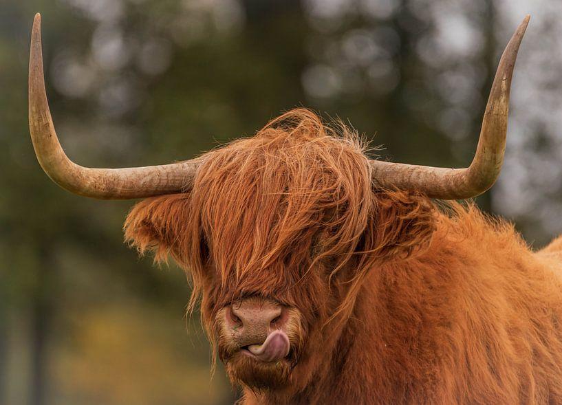Highlander écossais sur Photo by Krista