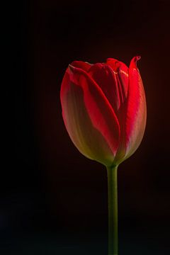 Stilleben einer roten Tulpe von Ellen de Ridder