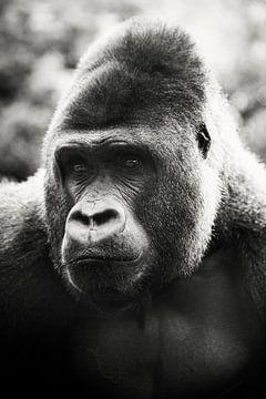 Gorilla von Tamara Mollers Fotografie Mollers