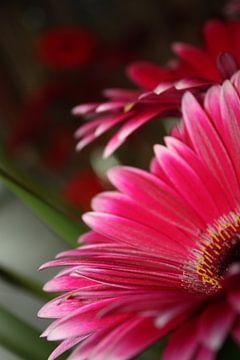 gerbera `in pink` von de buurtfotograaf Leontien