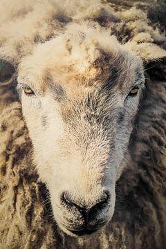 Schafskopf, Schaf von John van den Heuvel