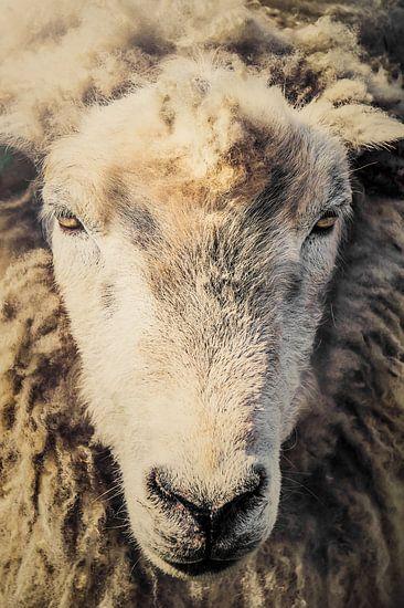 schapenkop, sheep van John van den Heuvel