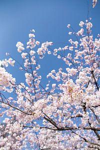Sakura, Japanse Bloesem van
