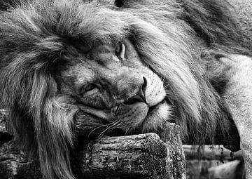 Schlafender Löwe von Bert Hooijer