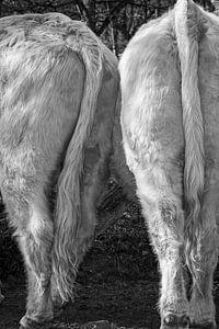 Schotse Hooglander zwart wit III van Robin Davina