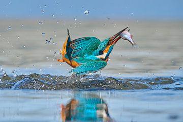Eisvogel - Acrobat
