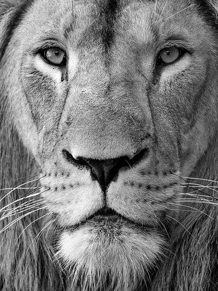 Black and white portrait of a lion von Patrick van Bakkum