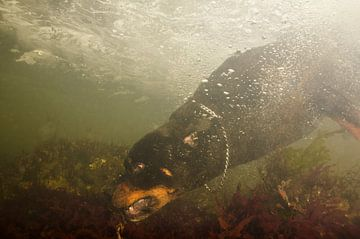 Rottweiler onderwater von