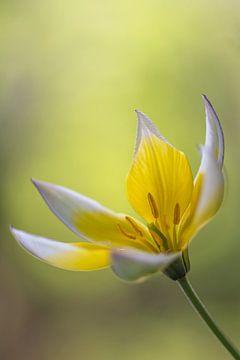 Gelb-weiße Tulpe mit weichem Bokeh von John van de Gazelle