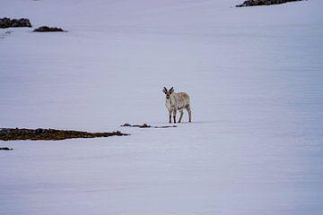 Eenzaam rendier op Spitsbergen van Merijn Loch