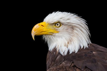 Portrait des kahlen Adlers Kopf auf schwarzem Hintergrund