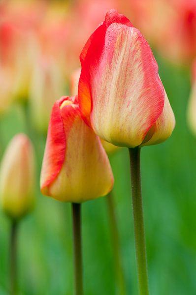 Tulpen 'Orange Queen' - Keukenhof van Tamara Witjes
