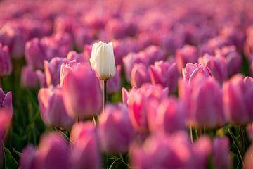 Witte tulp tussen roze tulpen