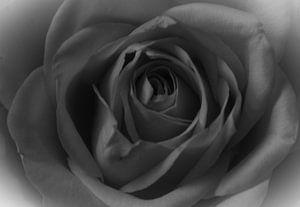 Een roos in zwart wit van