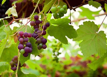 Weintrauben von BVpix