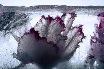 Cyclamen in ice 1 sur Marc Heiligenstein