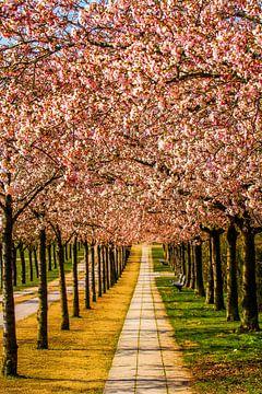 Japanische Blütenkirschen in Wismar von Holger Felix