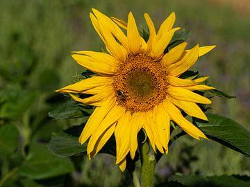 Sonnenblumenblüte mit Biene von Reiner Conrad