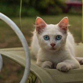 Kat met felblauwe ogen staart naar de lens van joost prins