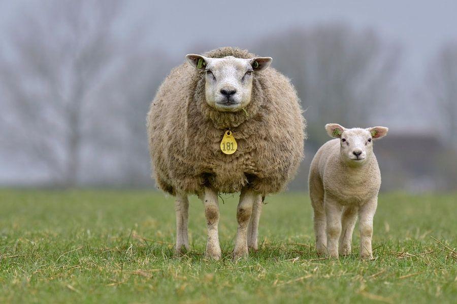 Lentekriebels, moeder schaap met lam.