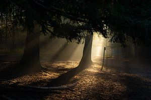 zacht ochtendlicht in het mastbos van Rob Bout