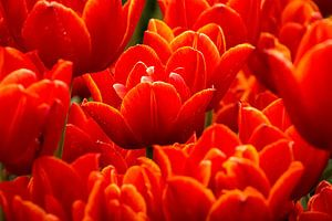 Fel rode tulpen