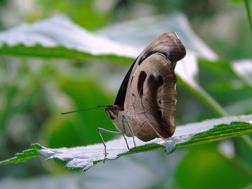 Catonephele numilia ( Tropische vlinders ) Collectie 2018 van