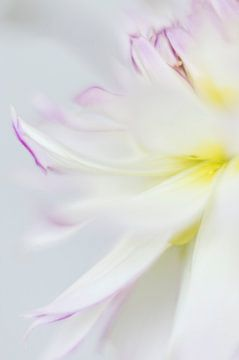 Dahlia in soft focus van Minie Drost