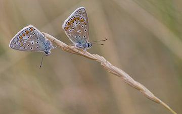 Twee icarusblauwtjes op een grashalm