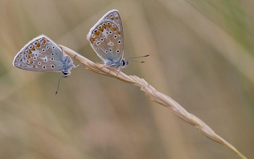 Twee icarusblauwtjes op een grashalm sur Jan Jongejan