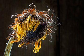 verwelkte Sonnenblume im Streiflicht vor dunkelbraunem Hintergrund mit Kopierfeld, ausgewählter Foku von Maren Winter