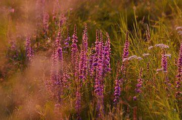 Blüht in der Abendsonne von Geert De Graaf