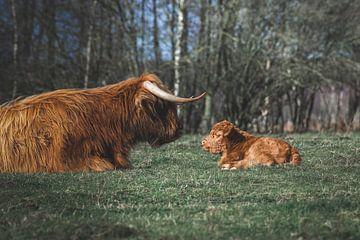 Neugeborenes schottisches Highlander-Kalb, das der Mutter gegenüberliegt von Maarten Oerlemans