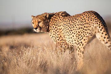Cheetah von Babs Boelens