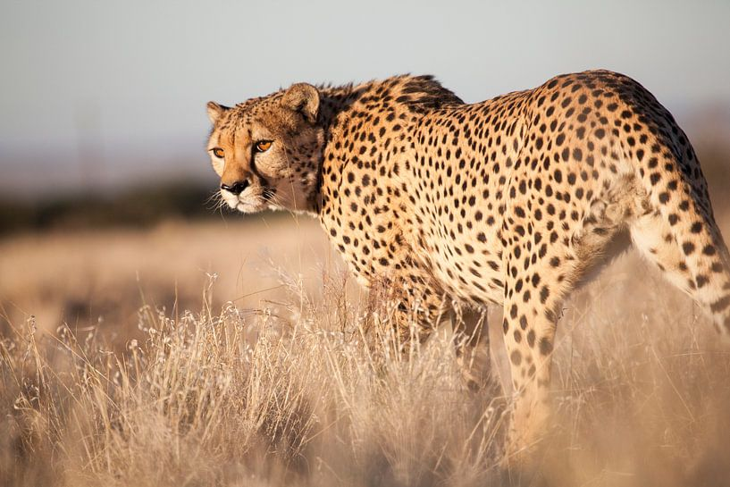 Cheeta, Namibia van Babs Boelens