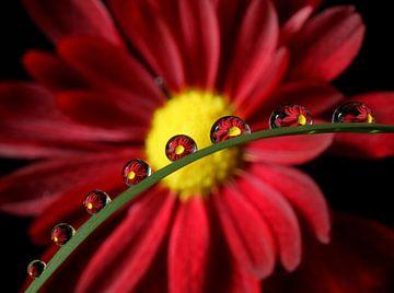 Marguerite rouge reflétée dans les gouttes d'eau sur