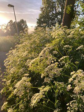Weiße Blumen in der Abendsonne von Emma Van Leur