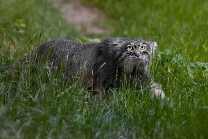 Jagd im Gras. Wilde flauschige Katze Pallas' strenger Blick in smaragdgrünem Gras.Im Profil im Grüne