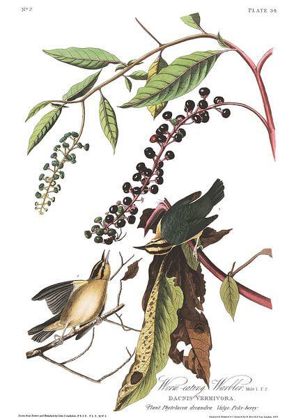 Streepkopzanger van Birds of America