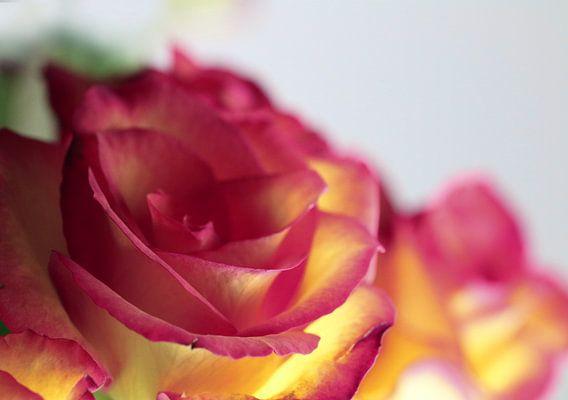 Rose  van Rosi Lorz