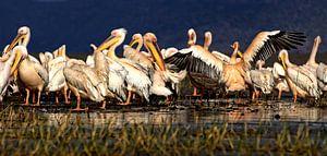 Pelikanen van