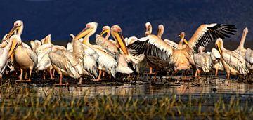 Pelikanen van rene schuiling