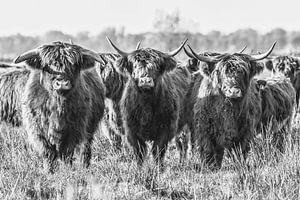 Schotse Hooglanders in de Onlanden
