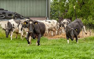 Springende koeien in de wei in Zuid-Limburg
