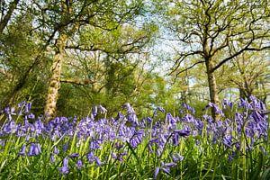 Bloeiende boshyacinten in een Engels eikenbos
