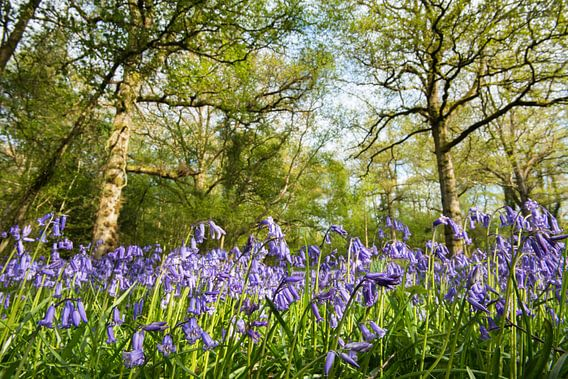 Bloeiende boshyacinten in een Engels eikenbos van Nature in Stock