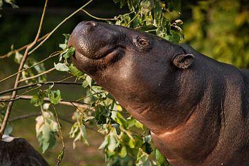 Gros plan sur le museau d'un hippopotame nain libérien sur Michael Semenov