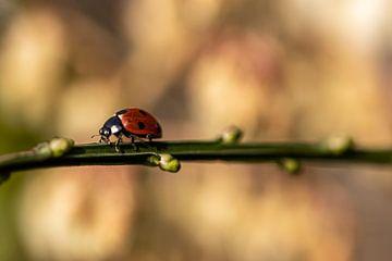 lieveheersbeestje op weg naar .......... van Paul Veen