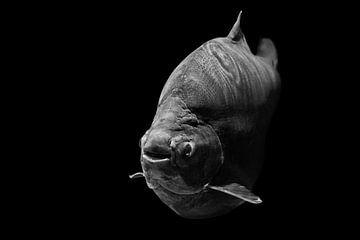 Vis van Hermann Greiling