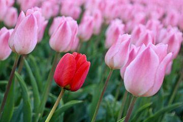 Tulp tussen de tulpen van Jack's Eye
